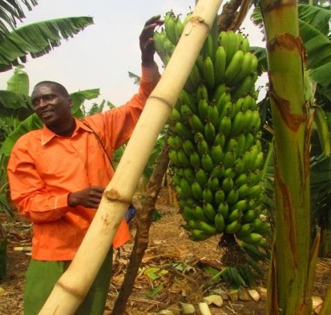 New varieties of banana